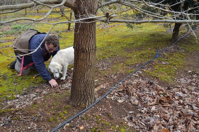 マンジマップのトリュフ狩り:手と指で掘り起こすトリュフの香り